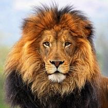 lion-wallpaper-hd